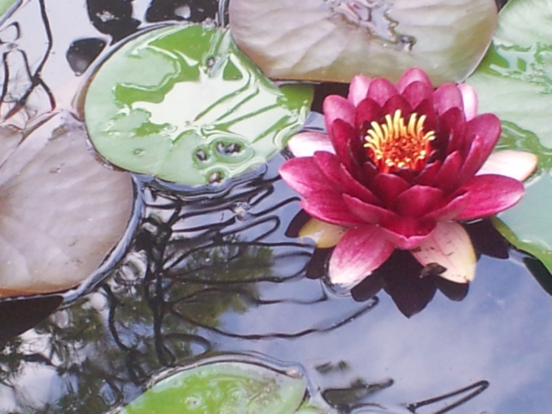 water lily web